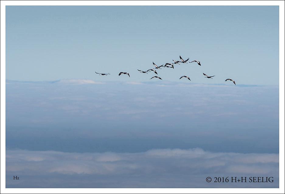 Kraniche fliegen über den Wolken