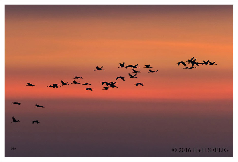 Abflug der Kraniche am frühen Morgen