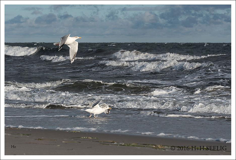 Silbermöwen am stürmischen Strand