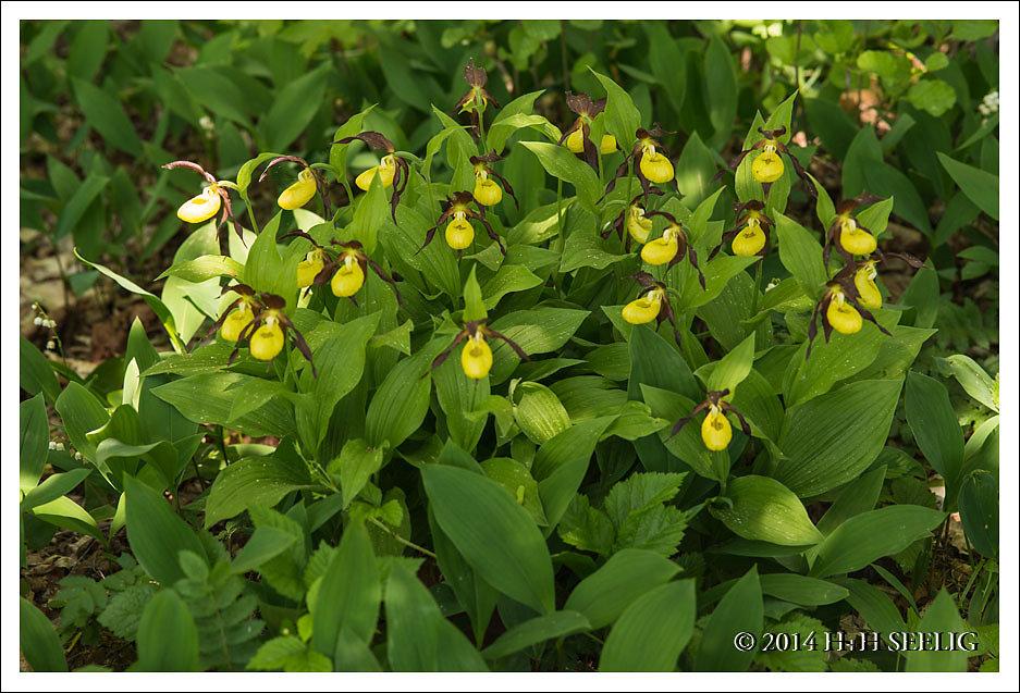 Frauenschuhorchideen