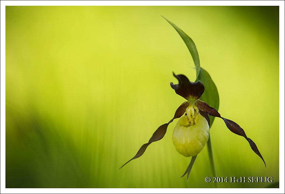 Frauenschuhorchidee