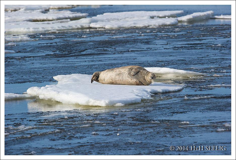 Bartrobbe liegt auf einer Eisscholle