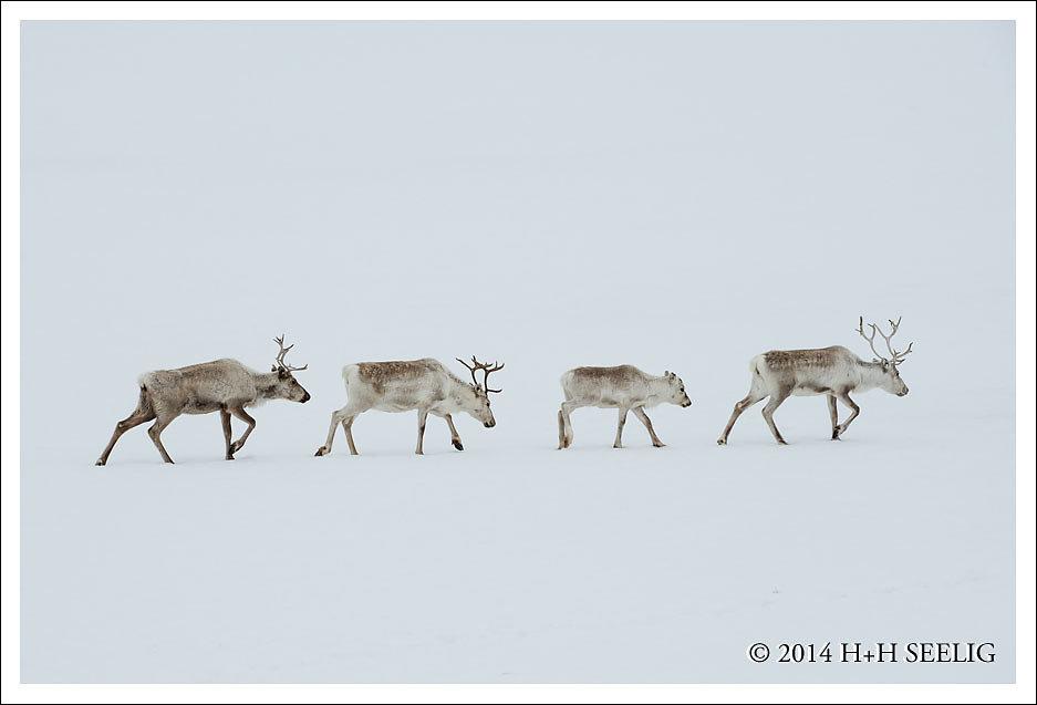 Rentiere im Schnee
