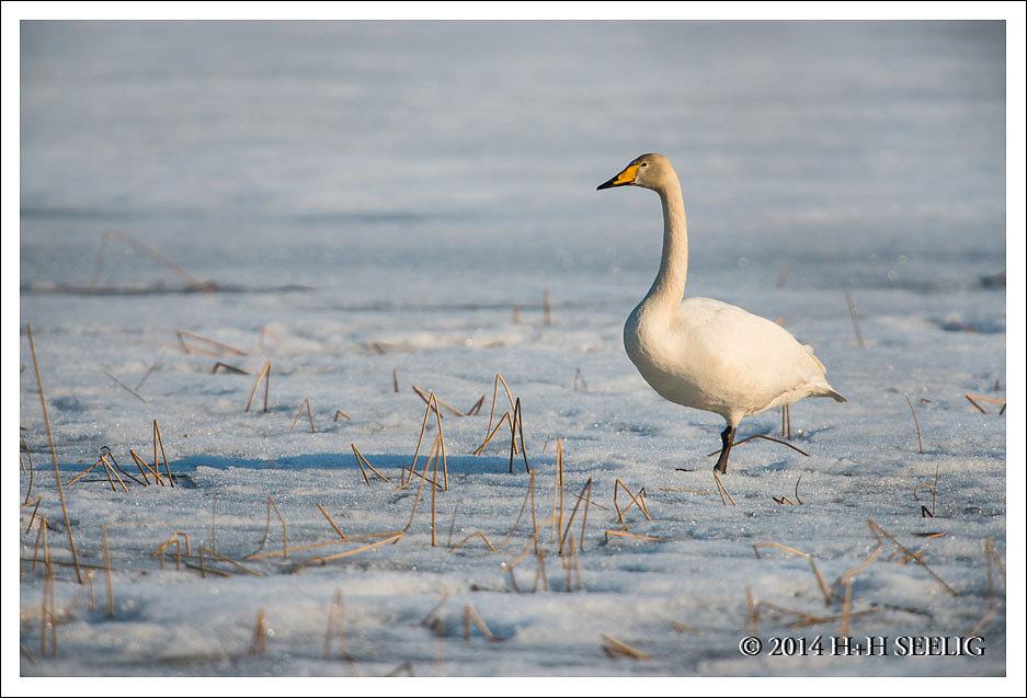 Singschwan im Schnee