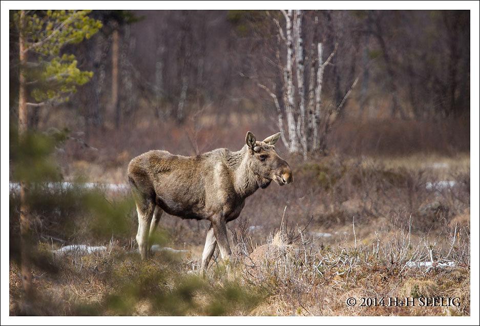 Elchbulle in Finnland