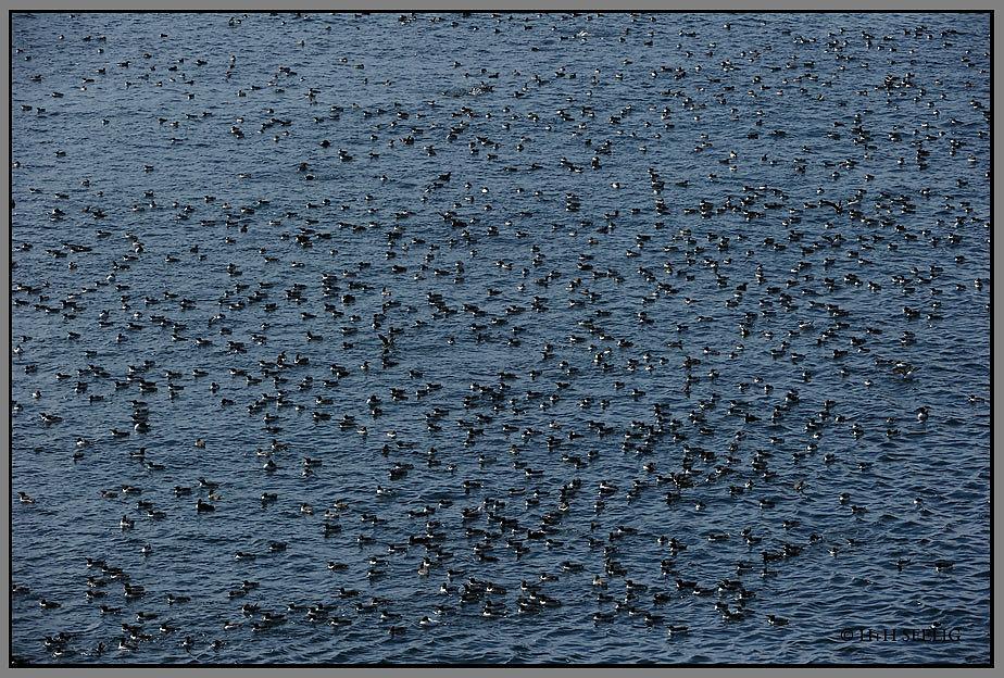 Seevogelversammlung vor Hornoya