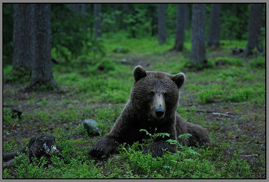 Braunbär sehr nah vor der Ansitzhütte