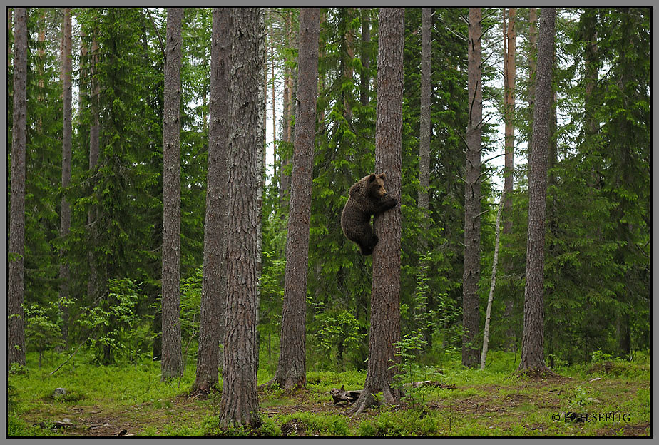 Junger Braunbär flüchtet auf einen Baum