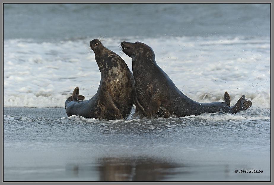 Halbwüchsige Robben spielen am Strand