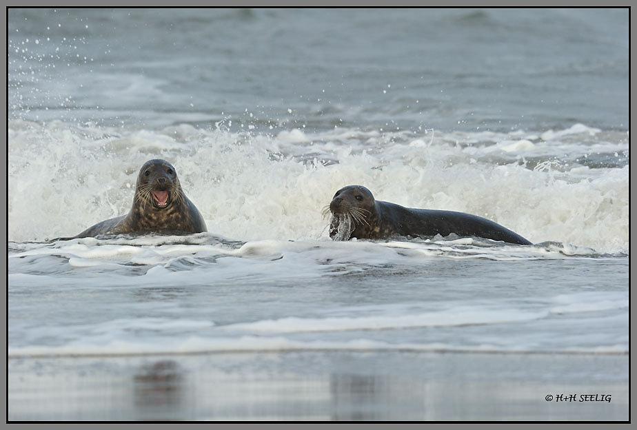 Robben spielen am Strand