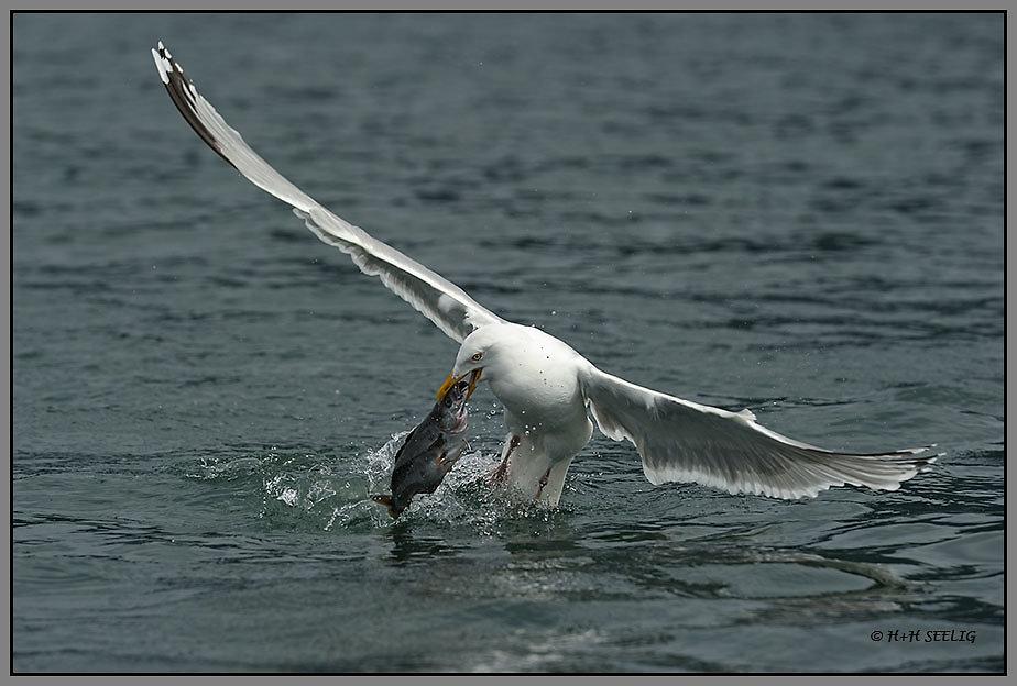 Möwe mit Fisch