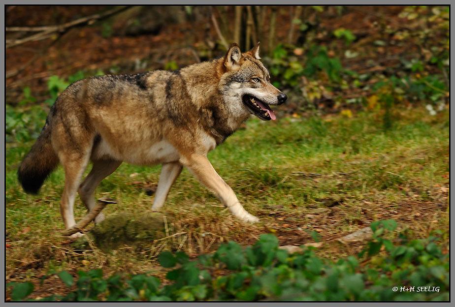 Wolf (C)