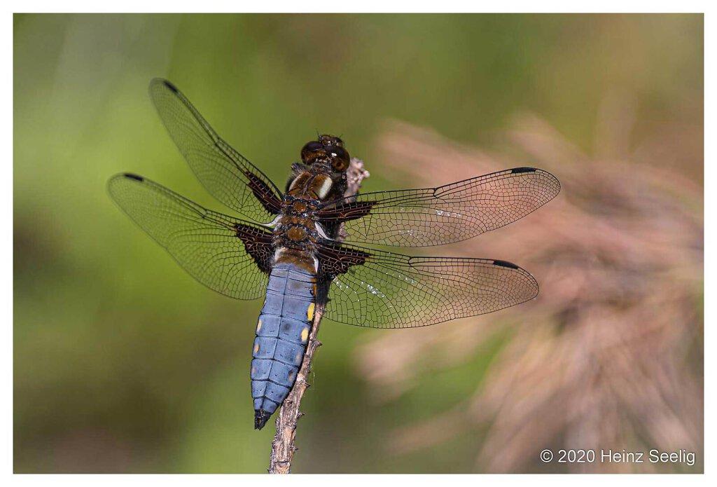 Juni 2020 - Plattbauch-Libelle